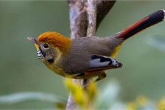 A close look at rare bird species in Hoang Lien national park