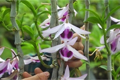 Rare transgenic orchids in close-up in Hanoi