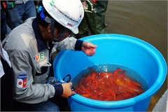 Japanese Koi fish released into Hanoi's To Lich river and West Lake to test for clean water