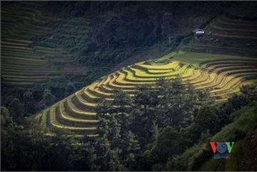 Exploring golden paddy fields of Yen Bai