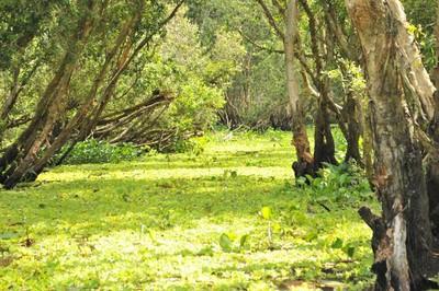 Tra Su indigo forest proves popular attraction among visitors