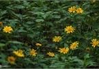Exploring wild sunflowers in bloom in Ba Vi National Park