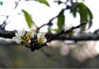 First appearance of plum blossoms signals early spring in Moc Chau