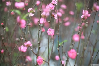 Nhat Tan peach blossoms signal first signs of Tet in Hanoi