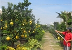 Dien grapefruit in HCM City sees price rise ahead of Tet