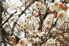 Exploring pristine beauty of apricot blossoms in Moc Chau