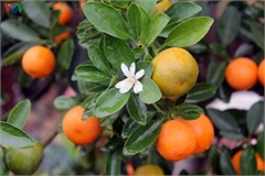 Bonsai kumquat trees of Hanoi's village attracts customers