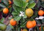 Bonsai kumquat trees of Hanoi's village attracts customers