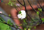 White apricot trees sought by choosy customers ahead of Tet