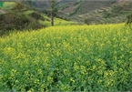 Discovering yellow mustard flowers of Mu Cang Chai terraced fields