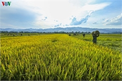 Stunning view of Muong Thanh golden paddy fields in Dien Bien