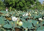 Hanoi sees hordes of people flock to white lotus flower pond