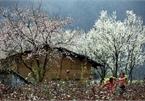 Na Ka plum valley on Moc Chau plateau