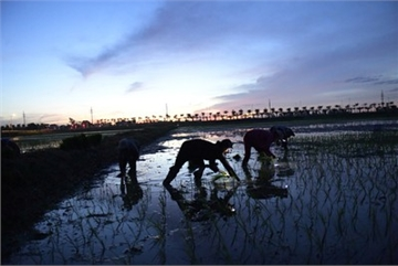 Farmers sow rice at night to avoid extreme heat in Hanoi