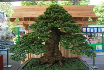 Thousands of bonsai go on show at Asia-Pacific Exhibition