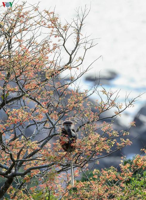 grey-shanked douc langurs on son tra peninsula hinh 9