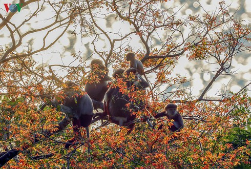 grey-shanked douc langurs on son tra peninsula hinh 11