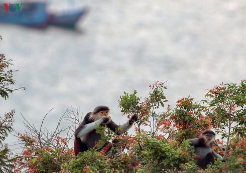 grey-shanked douc langurs on son tra peninsula hinh 16