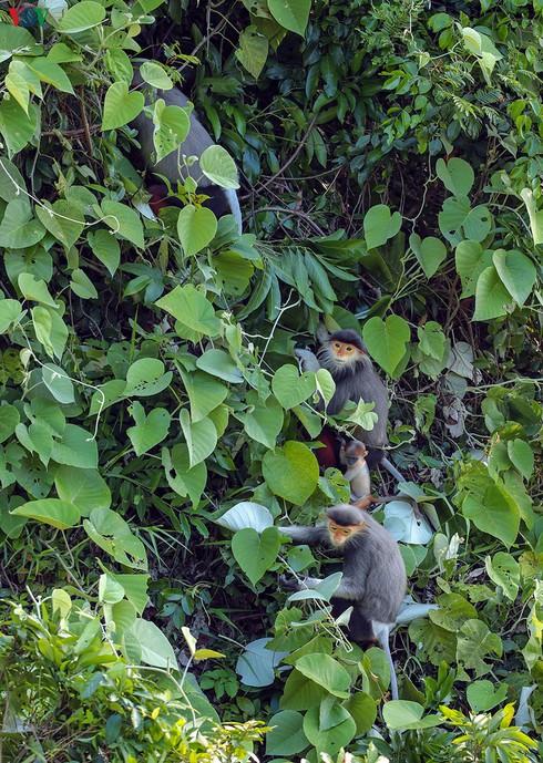 grey-shanked douc langurs on son tra peninsula hinh 1