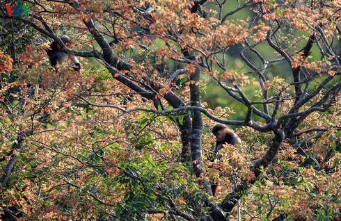 grey-shanked douc langurs on son tra peninsula hinh 4