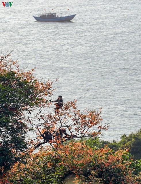 grey-shanked douc langurs on son tra peninsula hinh 5
