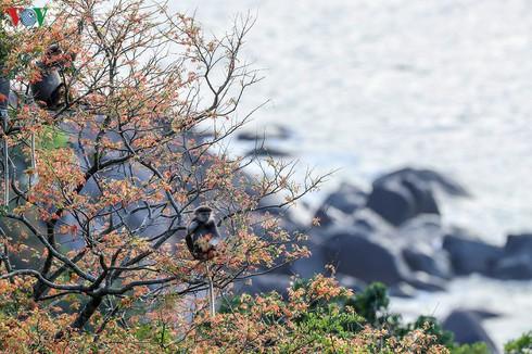grey-shanked douc langurs on son tra peninsula hinh 7