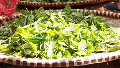 shan tuyet tea – a specialty from hoang lien son mountain range hinh 1