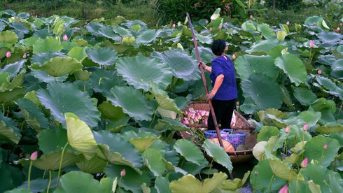 past and present linked in hanoi's tradition of enjoying lotus tea hinh 0