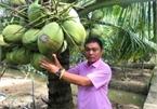 Trồng dừa sáp nuôi cấy phôi, trái mọc chi chít gốc, mỗi năm thu hàng trăm triệu đồng