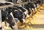 """""""Dính"""" hàng loạt vi phạm, CTCP Giống bò sữa Mộc Châu bị phạt hơn nửa tỷ đồng"""