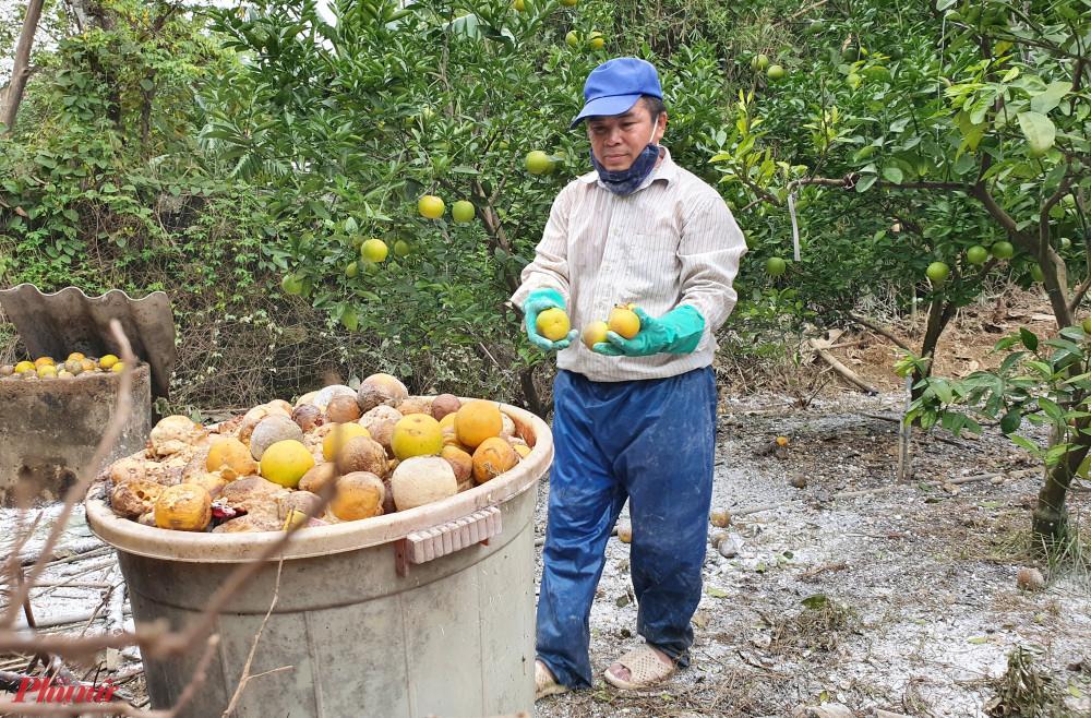 Người nông dân xót xa cắt loại cam có giá gần 100.000 đồng/quả dịp Tết làm phân bón