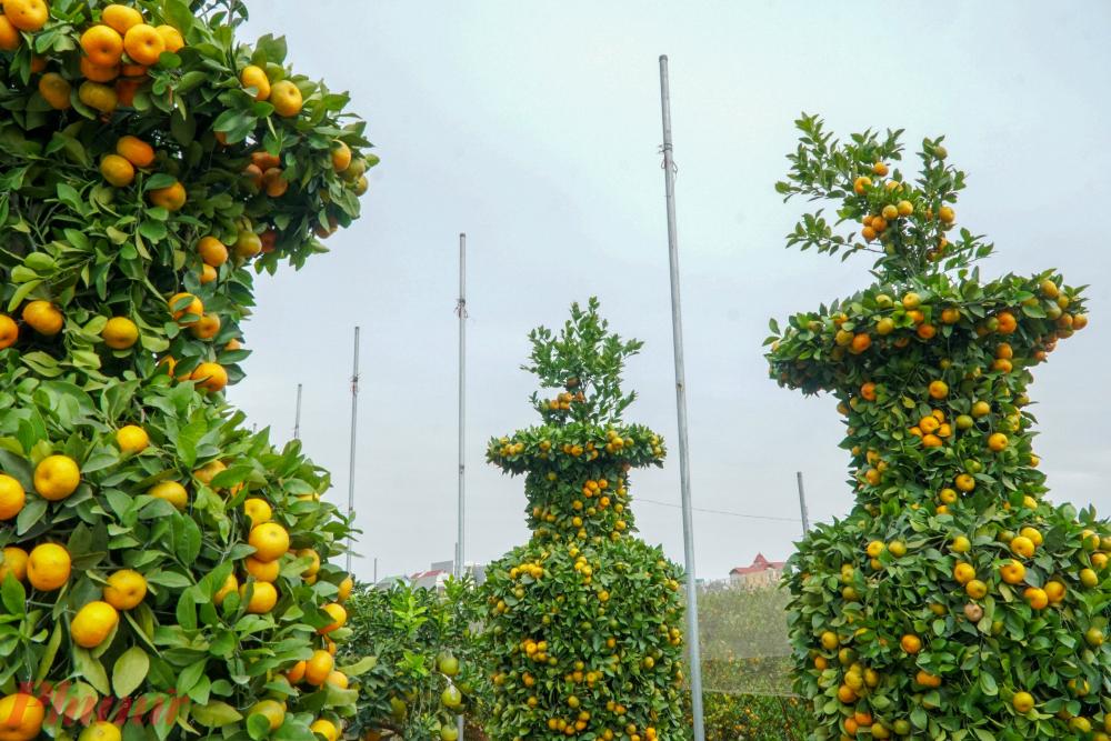 Nghệ nhân Nguyễn Trung Thành ở thôn Phi Liệt (Liên Nghĩa, Văn Giang, Hưng Yên) cho biết, năm nay cả khu vườn nhà ông có khoảng 400 gốc quýt nhưng chỉ chọn lọc và gò thành công khoảng 30 gốc theo dáng lục bình.