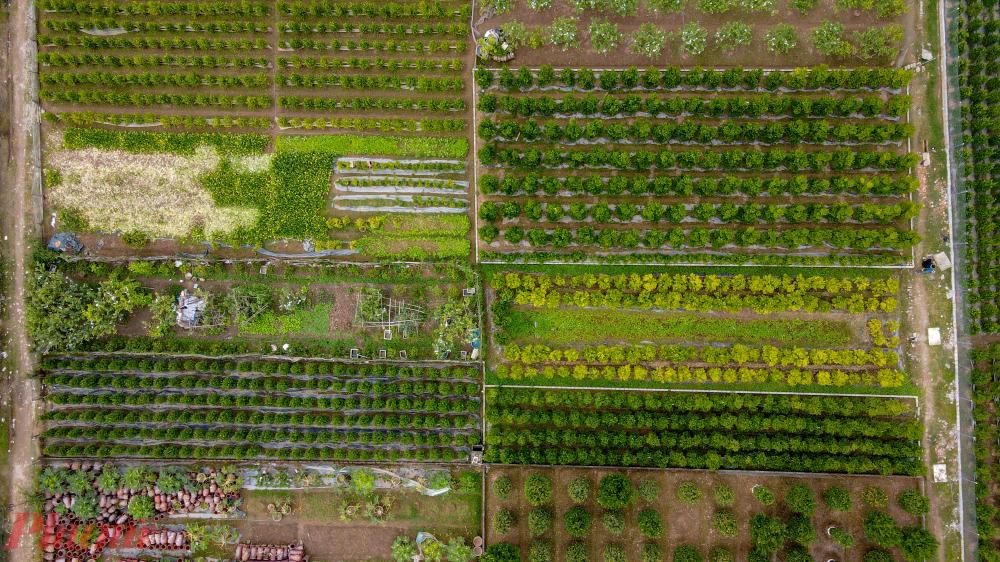Chỉ riêng trên địa bàn của xã Liên Nghĩa (huyện Văn Giang) đã có khoảng 60ha trồng các loại cây cảnh phục vụ Tết.