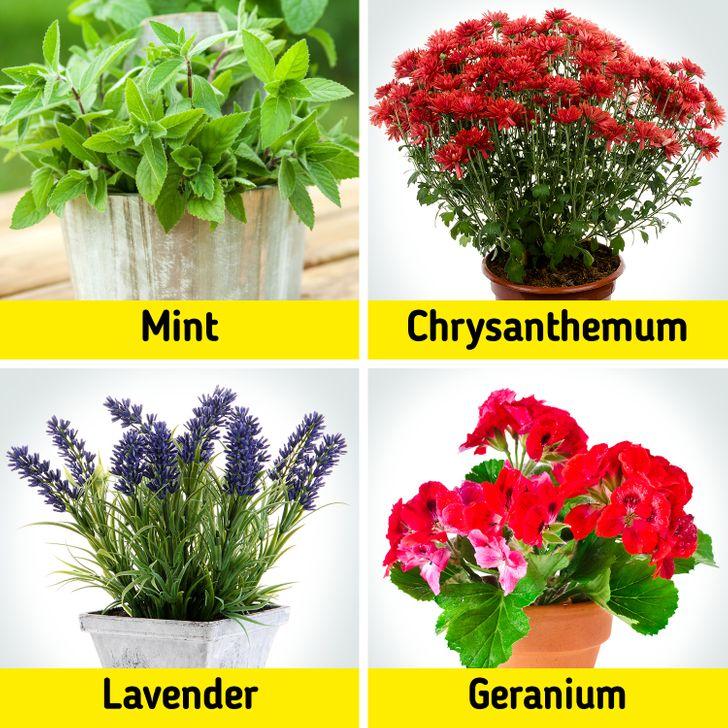 Bạc hà, hoa cúc, hoa oải hương và hoa phong lữ là những loại thuốc trừ sâu tự nhiên có tác dụng xua đuổi côn trùng.