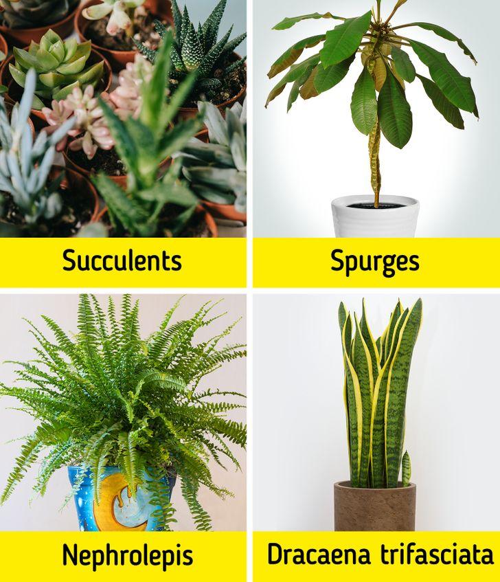 Những bao gồm nhiều loại hình succulents và xương rồng , spurges , NEPHROLEPIS EXALTATA (hoặc dương xỉ Boston) , và Sansevierias (hoặc thực vật rắn) .