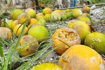 'Đệ nhất cam' xứ Nghệ rụng vàng gốc, dân trồng xót xa gom làm phân bón