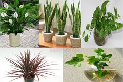 Những loại cây trồng trong nhà vừa lọc sạch không khí, vừa mang tài lộc cho chủ