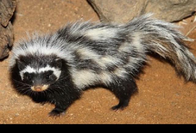 Top 10 loài động vật 'bốc mùi' nhất thế giới - ảnh 2