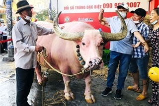 Large pink bull in HCM City captivates locals