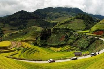Wonderful yellow terrace rice fields