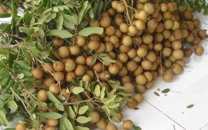 1.300 tấn nhãn ế ẩm, nông dân Bà Rịa - Vũng Tàu khóc ròng vì giá chỉ còn 1/3 - 2