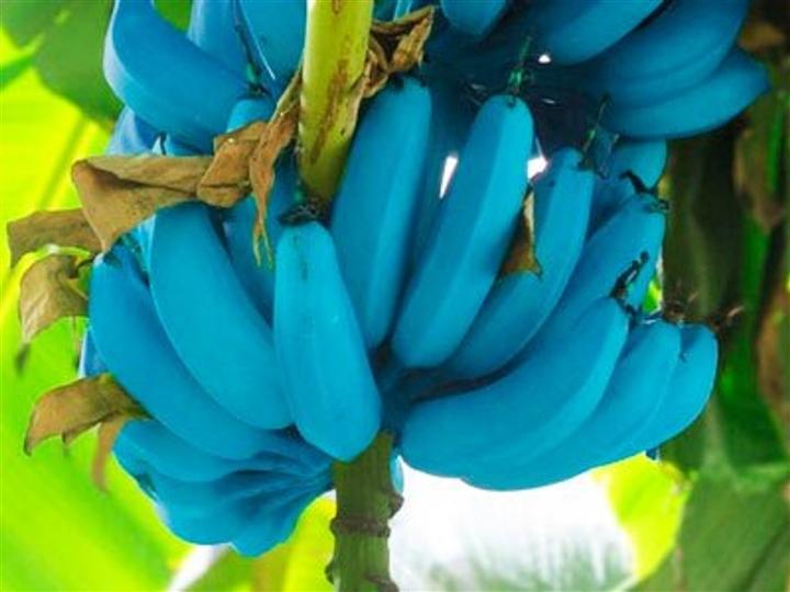 Giống chuối xanh biếc giá hơn 2 triệu/nải, màu đã lạ mùi vị còn độc đáo hơn - 3