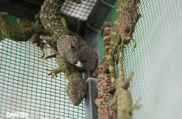 """Mục sở thị trang trại nuôi tắc kè hoa """"độc nhất"""" ở Hà Nội - ảnh 3"""