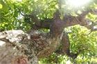 Chiêm ngưỡng cây lộc vừng tiền tỷ, lão nông mất gần nửa đời tạo tác