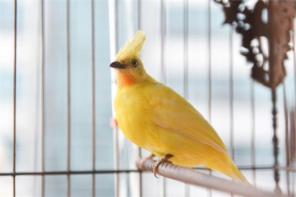 Săn lùng hoàng mào chơi Tết, đại gia thuê hẳn xe riêng đón chim quý về nhà