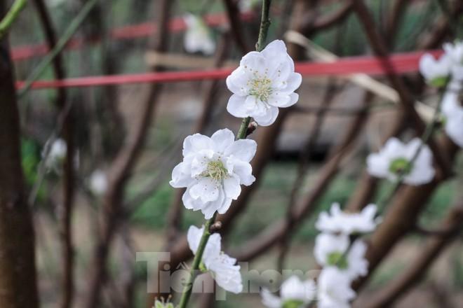 Đào cánh trắng hiếm có bạc triệu xuất hiện ở Nhật Tân - ảnh 3