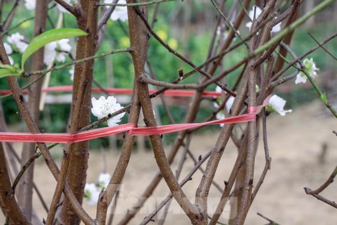 Đào cánh trắng hiếm có bạc triệu xuất hiện ở Nhật Tân - ảnh 7