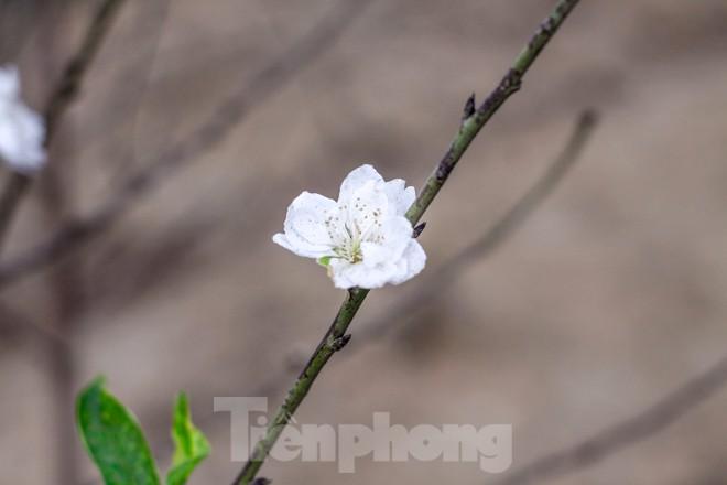 Đào cánh trắng hiếm có bạc triệu xuất hiện ở Nhật Tân - ảnh 9