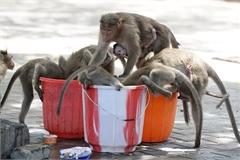 Nóng chảy mỡ, khỉ cắn giết nhau giành nước uống
