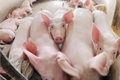 Nghe VietNamNet: Giá thịt lợn phá đỉnh ngày cuối tuần